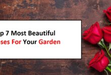 Photo of Top 7 Most Beautiful Roses For Your Garden